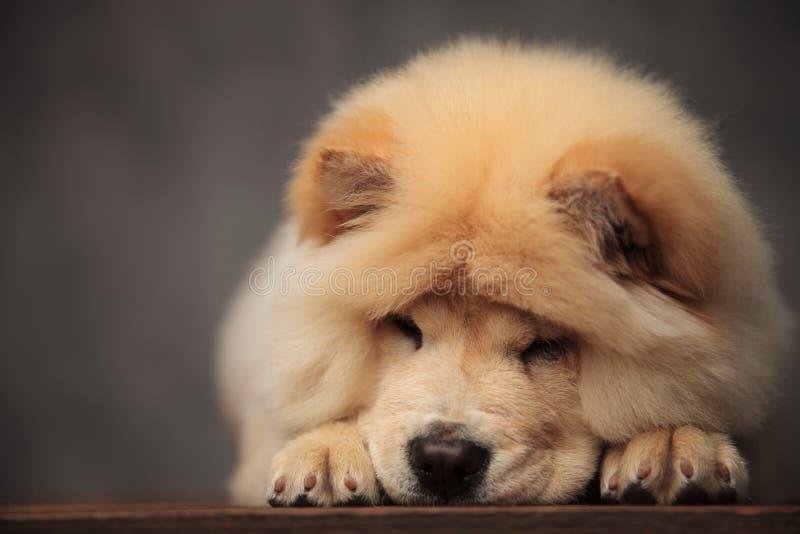 Entzückendes Chow-Chow, das mit Kopf unten auf Holzfußboden liegt lizenzfreies stockfoto