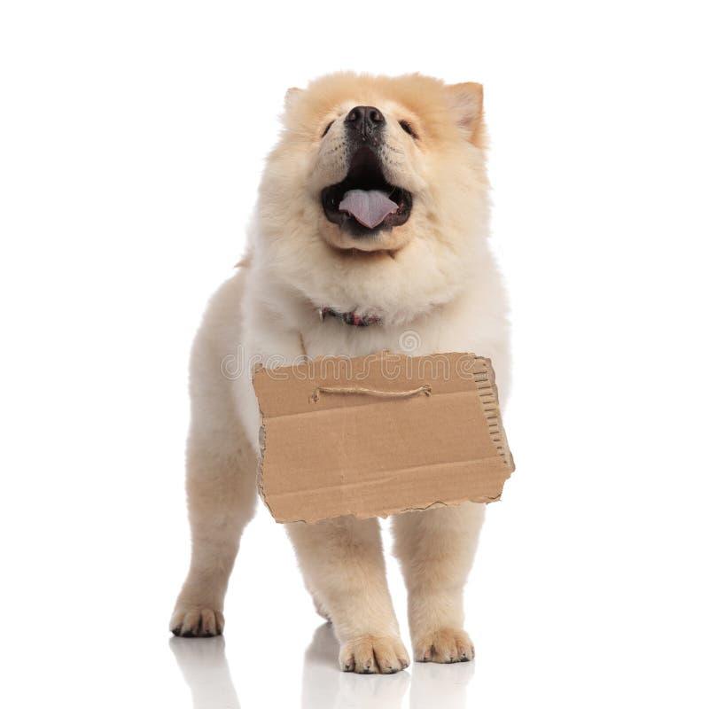 Entzückendes Chow-Chow mit Anschlagtafel um Hals schaut oben lizenzfreie stockfotografie
