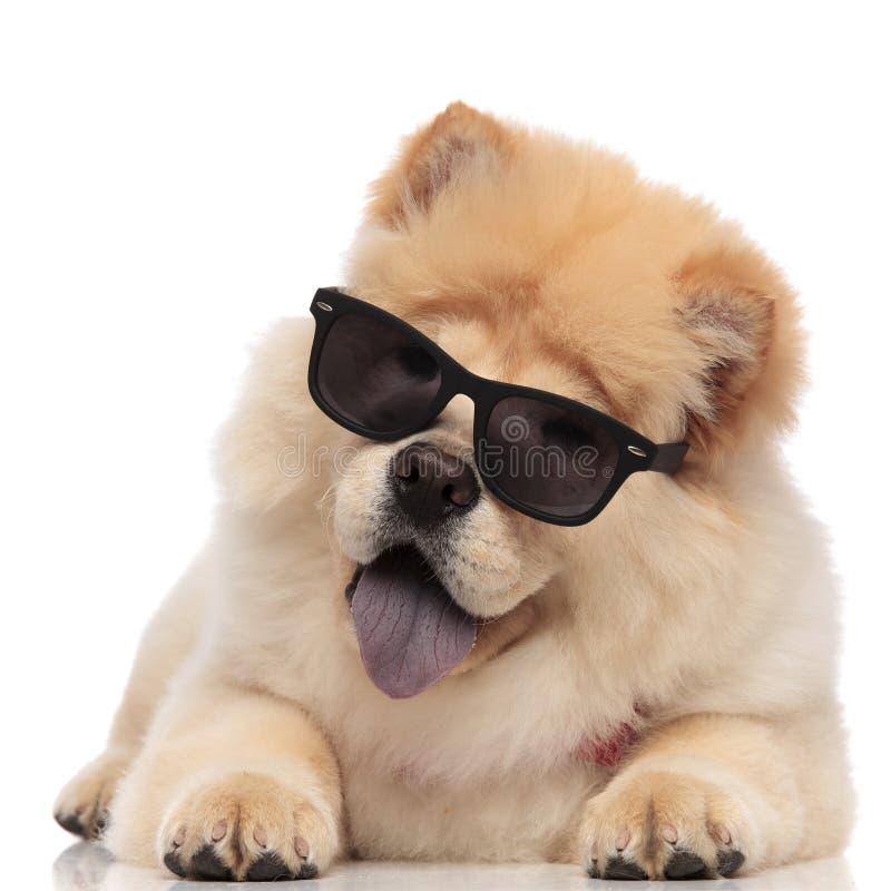 Entzückendes Chow-Chow tragendes sunglasse, das mit der blauen Zunge herausgestellt liegt stockfoto