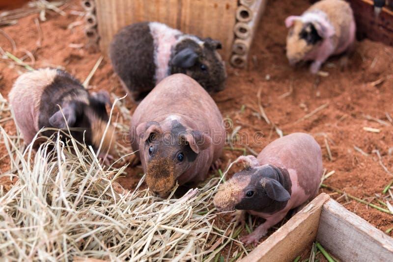 Entzückendes dünnes Schwein oder unbehaarte Meerschweinchenfamilie essen trockenes Gras lizenzfreie stockbilder