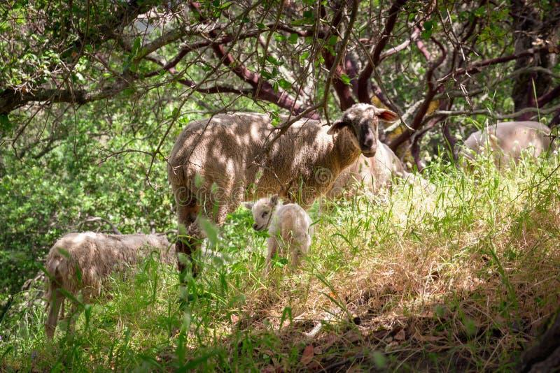Entzückendes Frühlings-Lamm u. Mutter stockfoto