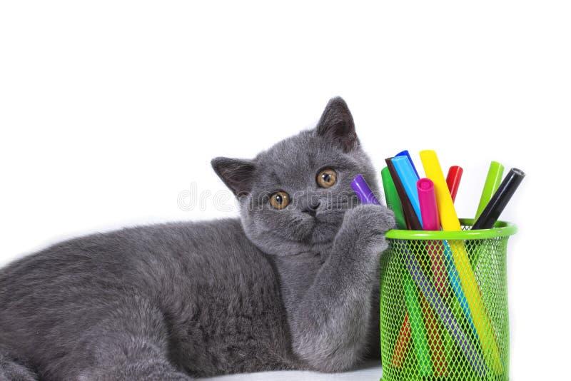 Entzückendes, graues, flockiges vollblütiges britisches Kätzchenlügen, Glasmarkierungen einer Tatze, auf einem weißen Hintergrund lizenzfreies stockbild