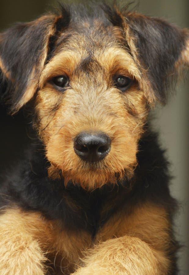 Entzückendes Haustierhündchen Nahaufnahmeporträt Airedales Terrier stockfotografie