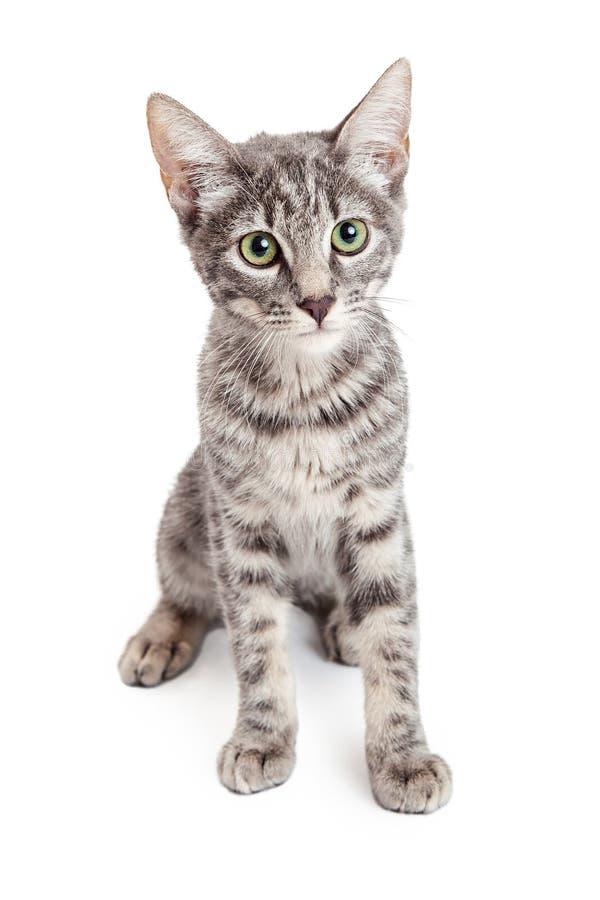 Entzückendes inländisches Shorthair viermonatliche alte Kitten Sitting stockfotografie