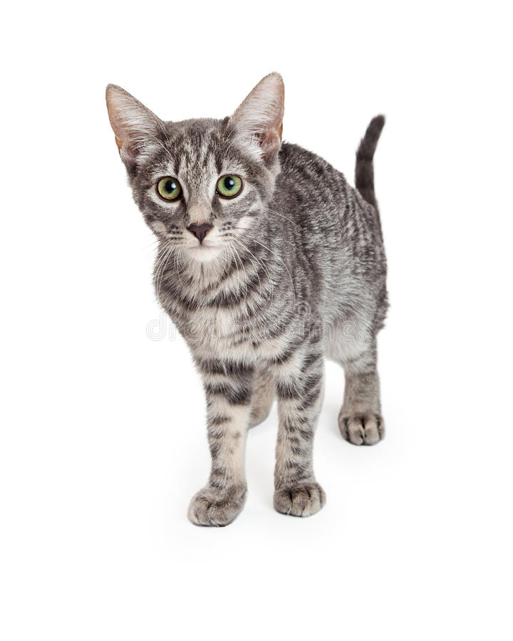 Entzückendes inländisches Shorthair viermonatliche alte Kitten Standing lizenzfreies stockbild