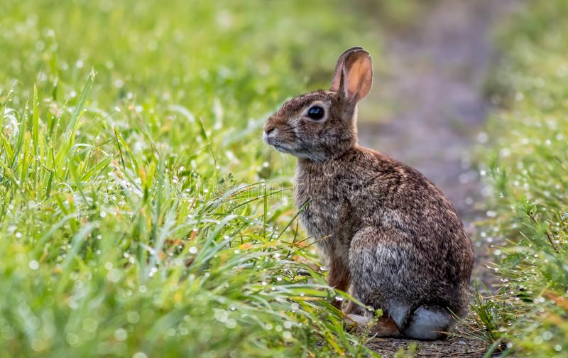 Entzückendes Kaninchen entlang dem grasartigen Hintermorgens Tau stockfotos