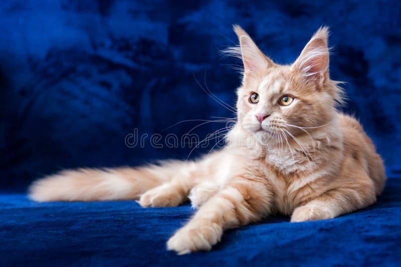 Entzückendes kleines Kätzchenlügen der Maine-Waschbärcremegetigerten katze stockbild