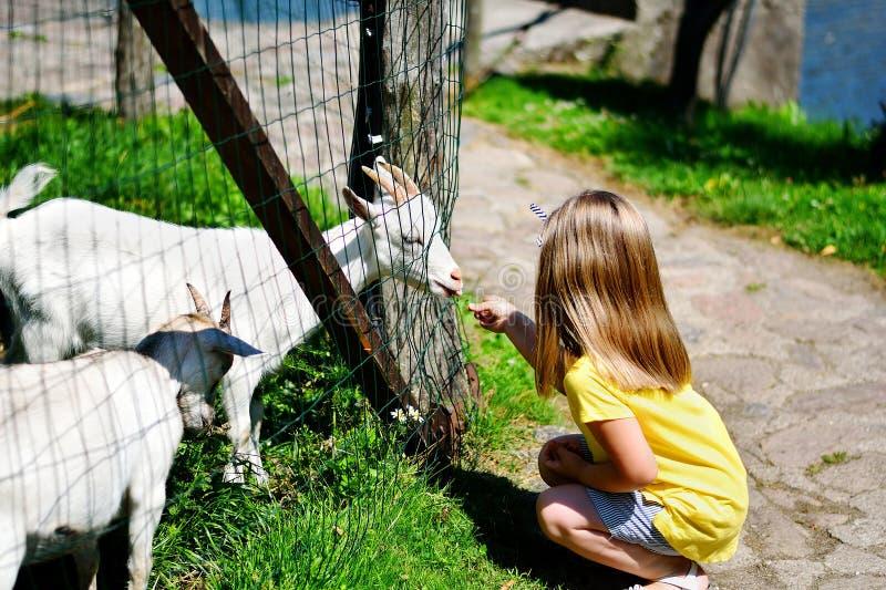 Entzückendes kleines Mädchen, das eine Ziege am Zoo am heißen sonnigen Sommertag einzieht stockbilder