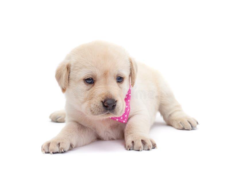 Entzückendes Labrador-Hündchen, das auf weißer Oberfläche wachsam schaut stockfotografie
