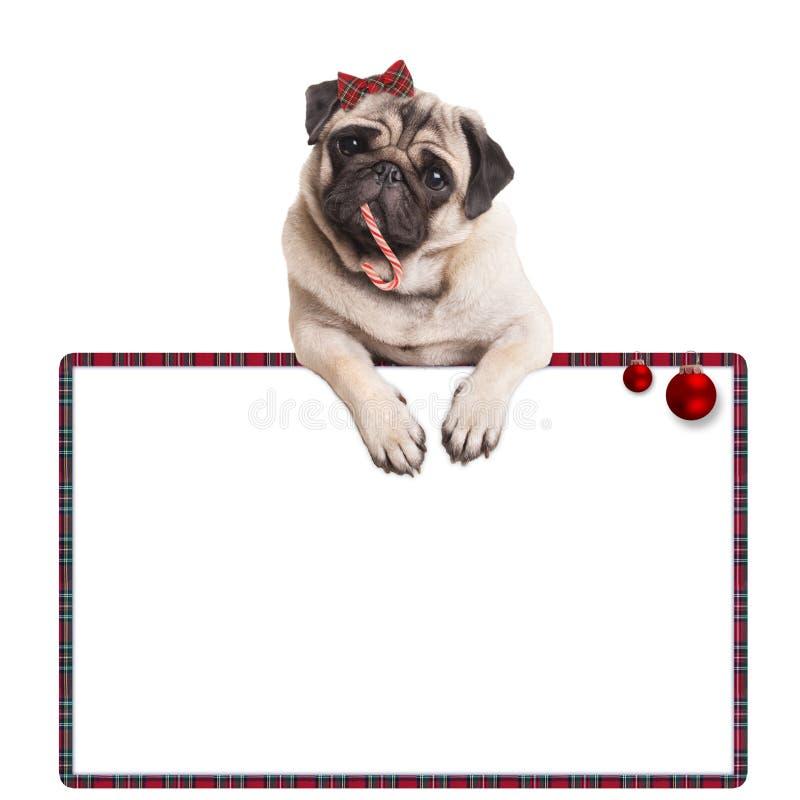 Entzückendes nettes Pughündchen, welches die Zuckerstange, hängend am leeren Zeichen mit rotem Flitter, auf weißem Hintergrund is lizenzfreies stockfoto