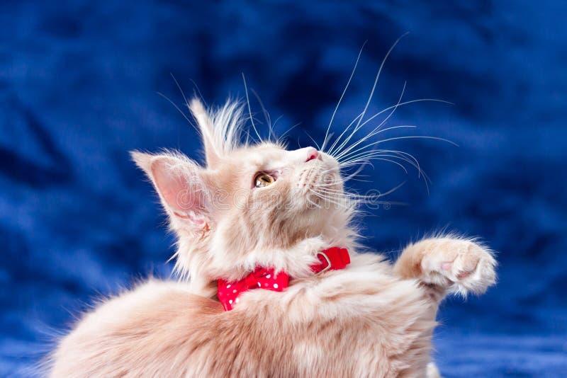 Entzückendes Sahnekätzchenporträt der getigerten Katze mit der angehobenen Tatze lizenzfreies stockbild
