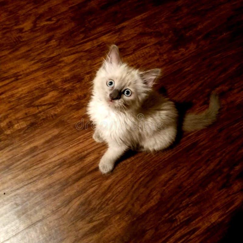 Entzückendes siamesisches Kätzchen stockfotografie
