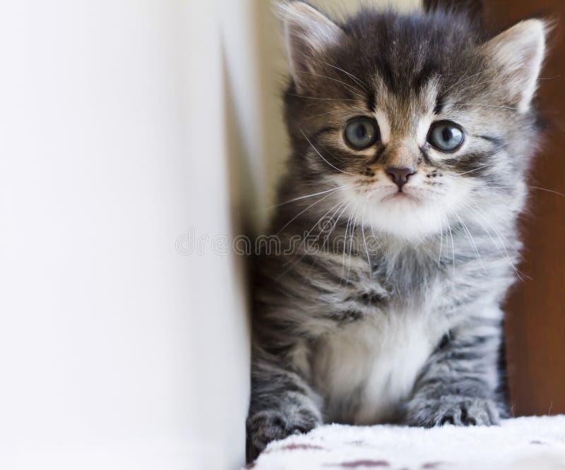 Entzückendes sibirisches Kätzchen, das auf dem verkratzenden Beitrag, braunes t spielt lizenzfreie stockfotografie