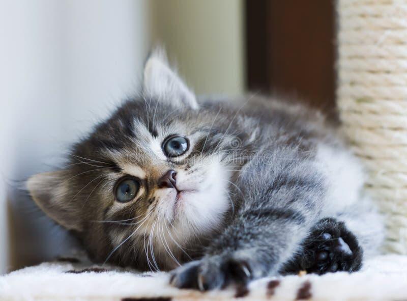 Entzückendes sibirisches Kätzchen, das auf dem verkratzenden Beitrag, braunes t spielt lizenzfreie stockfotos