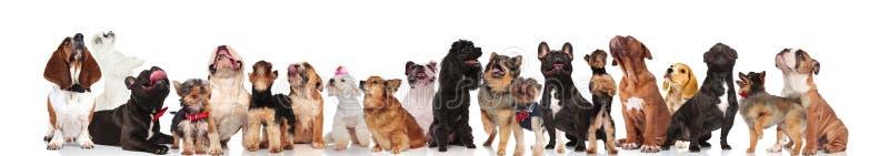 Entzückendes Team von acht Hunden gekleidet als Teufel stockfotos