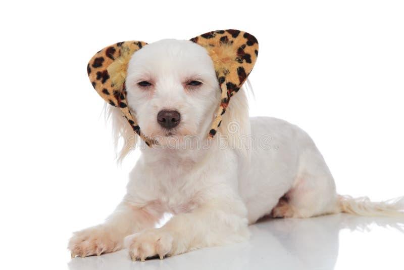 Entzückendes weißes bichon tragendes Tierdruck-Stirnbandlügen stockbild