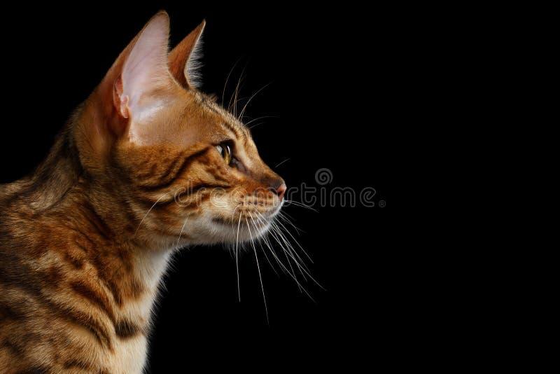 Entzückendes Zucht Bengal-Kätzchen lokalisiert auf schwarzem Hintergrund lizenzfreies stockfoto