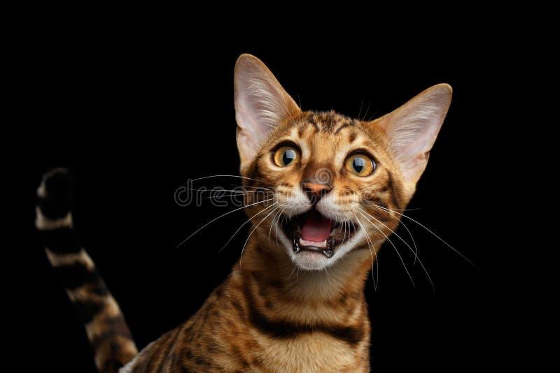 Entzückendes Zucht Bengal-Kätzchen lokalisiert auf schwarzem Hintergrund stockbild