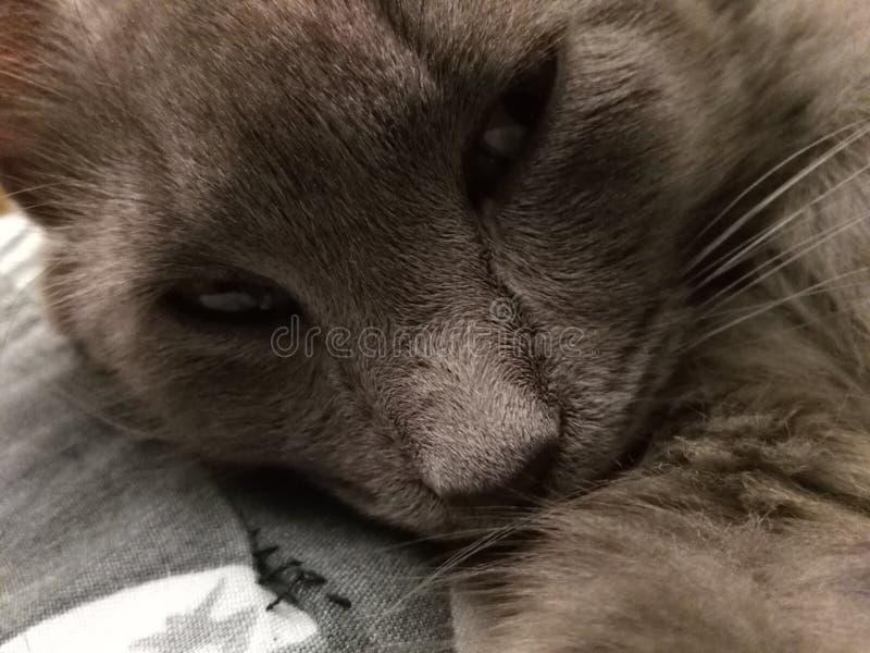 Entz?ckende graue Katze lizenzfreies stockfoto
