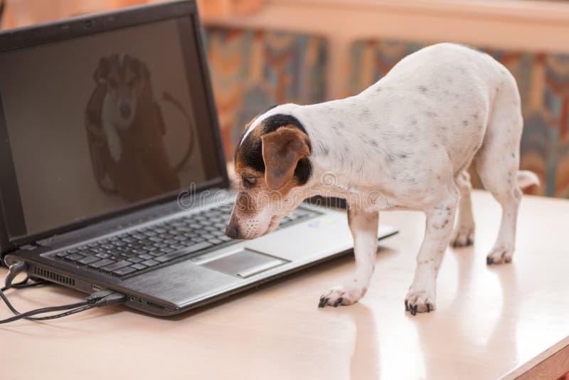 Entz?ckender Computer Jack Russell Terrier-Hund Frecher Hund auf dem Tisch lizenzfreie stockfotografie