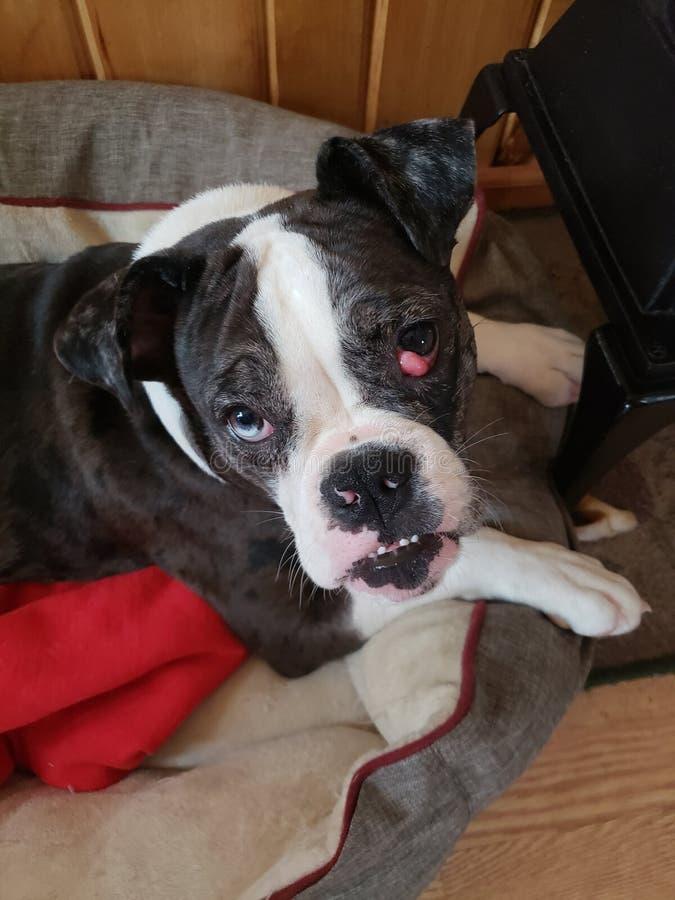 Entz?ckender Hund lizenzfreie stockfotos