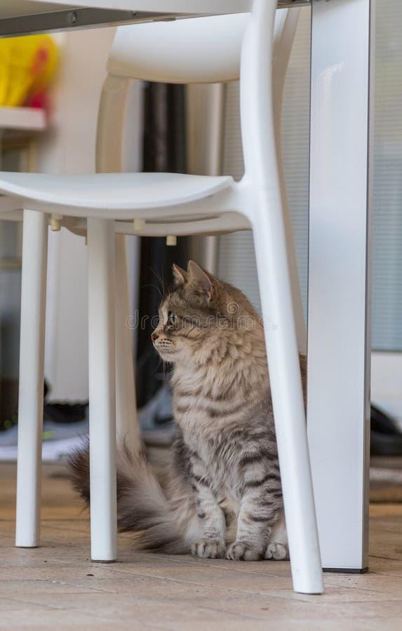 Entz?ckendes Haustier der sibirischen Katze des Viehbestandes, langhaariges hypoallergenic Tier stockbild