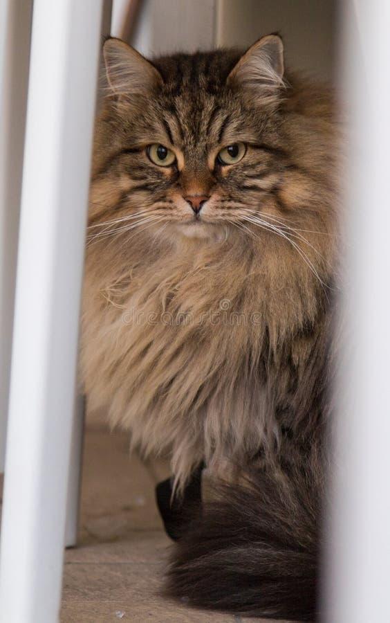 Entz?ckendes Haustier der sibirischen Katze des Viehbestandes, langhaariges hypoallergenic Tier stockbilder
