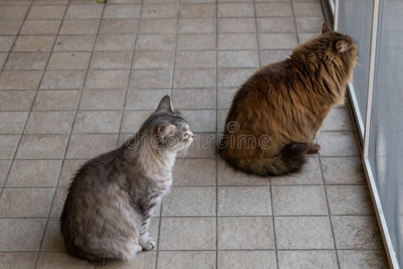Entz?ckendes Haustier der sibirischen Katze des Viehbestandes, langhaariges hypoallergenic Tier stockfoto