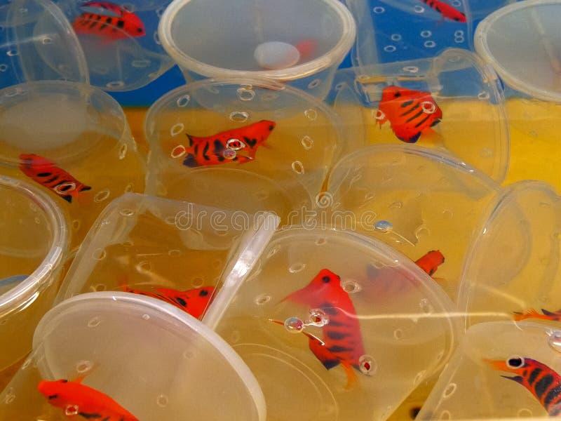 Envases de ángeles de la llama en un tanque del acuario en un mayorista tropical de los pescados fotografía de archivo