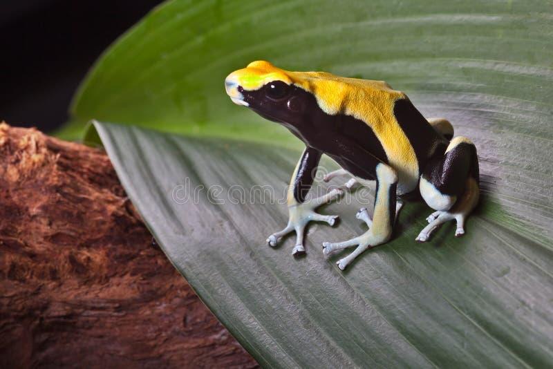 Envenene la rana del dardo en la hoja en selva tropical del Amazonas imagen de archivo