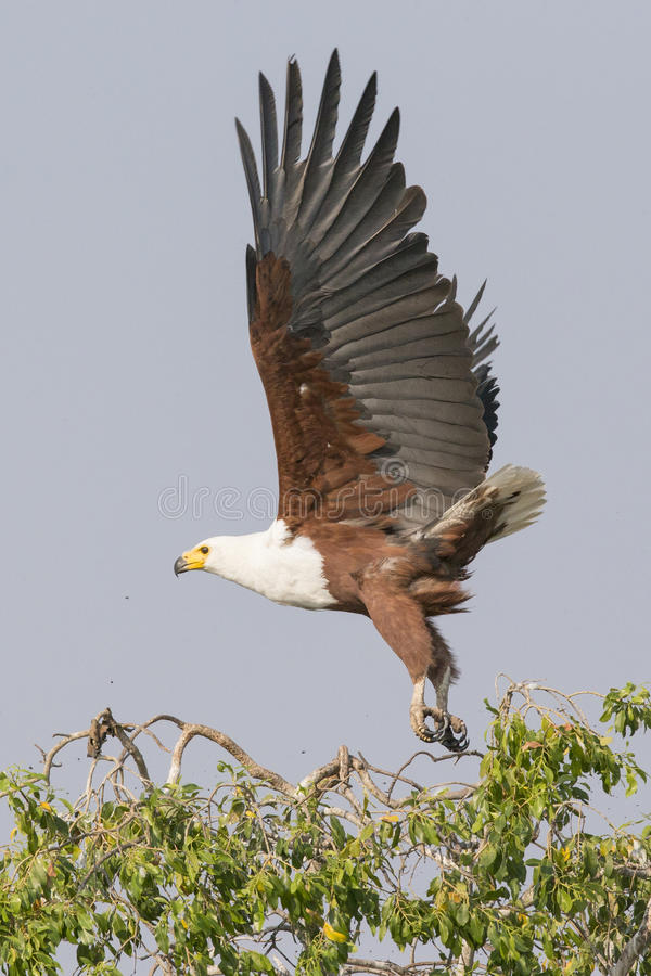 Envergadura grande da águia de peixes africana foto de stock