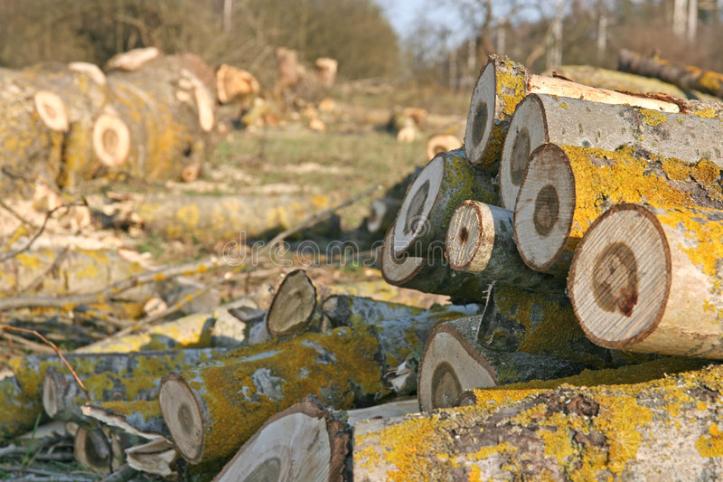Enviromental problems. Chopped trees - nature crying stock photography