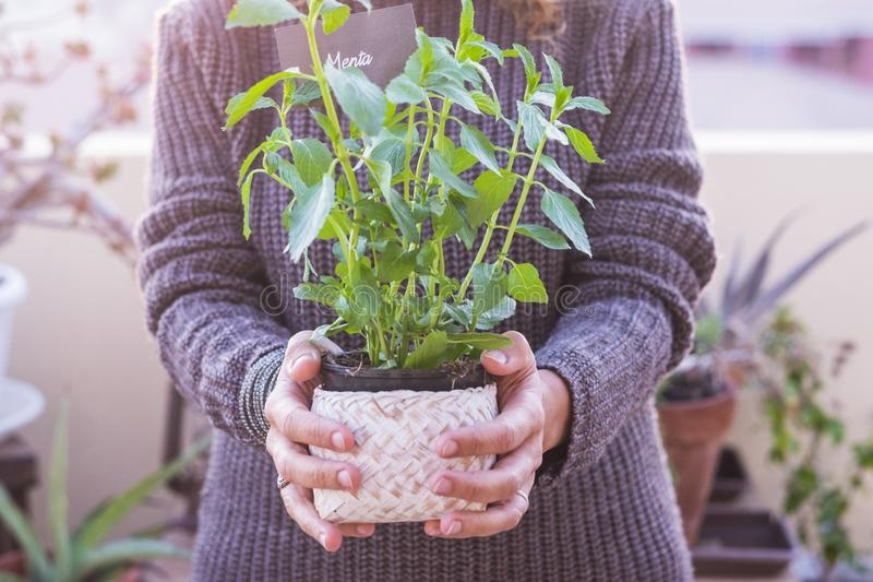 Environment concept and nature care wity adult woman hands holding a mint plant - other plants on background - love for green royalty free stock images