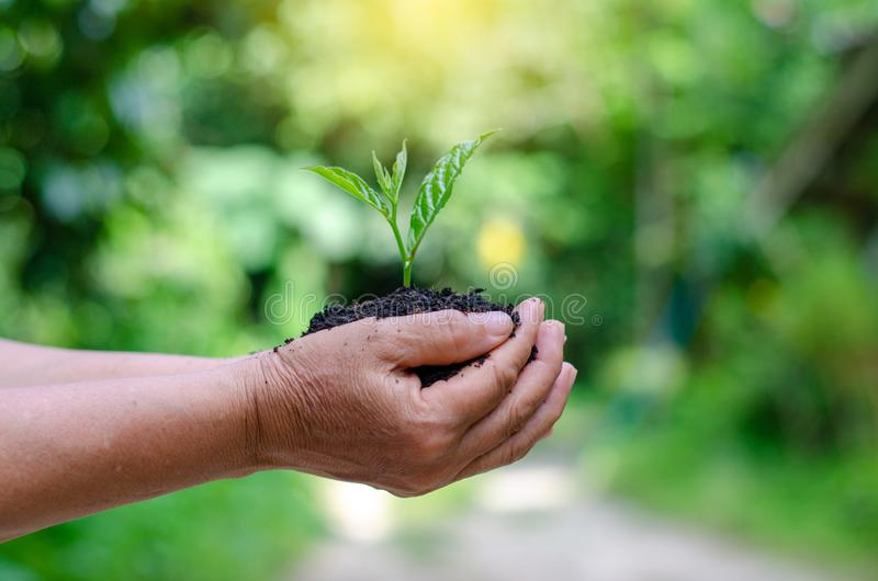Environment Earth Day In the hands of trees growing seedlings. Bokeh green Background Female hand holding tree on nature field gra. Ss Forest conservation stock photo