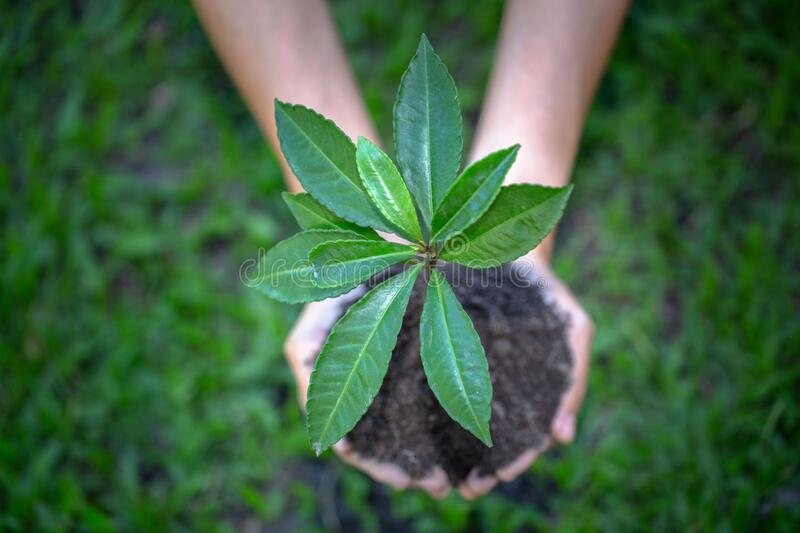Environment Earth Day In the hands of trees growing seedlings.  Female hand holding tree stock image