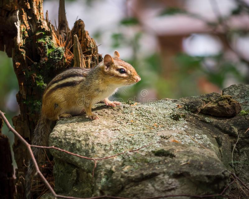 Environmental Portrait of Chipmunk on a Rock stock images