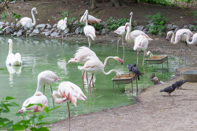 Environmental protection, zoo. Flamingo with pink feathers in a green pond stock photography