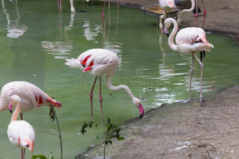 Environmental protection, zoo. Flamingos with pink feathers in a green pond royalty free stock photos