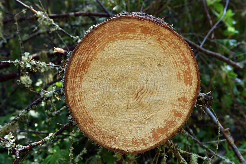 Environmetalconcept, onwettige ontbossing Snijd vers pijnboom RT stock fotografie