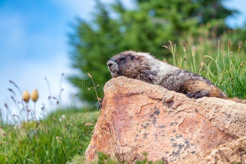 Environs de observation de belle marmotte Scénario de montagne photographie stock libre de droits
