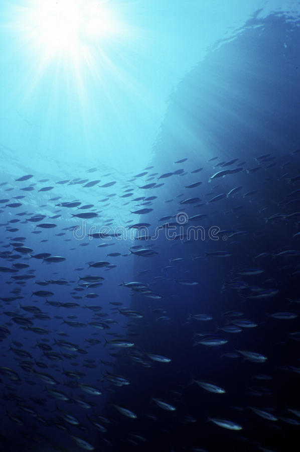 Enxame da cavala no oceano azul imagem de stock royalty free