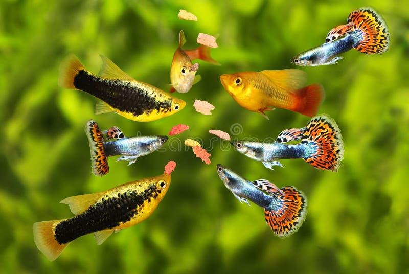 Enxame de alimentação peixes tetra do aquário que comem o alimento do floco imagem de stock