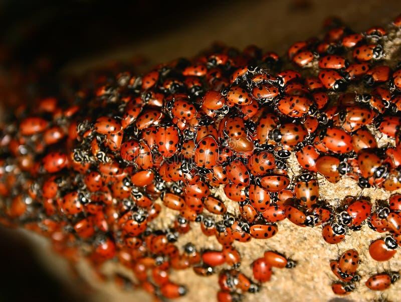 Enxame do Ladybug (axyridis de Harmonia) fotografia de stock royalty free