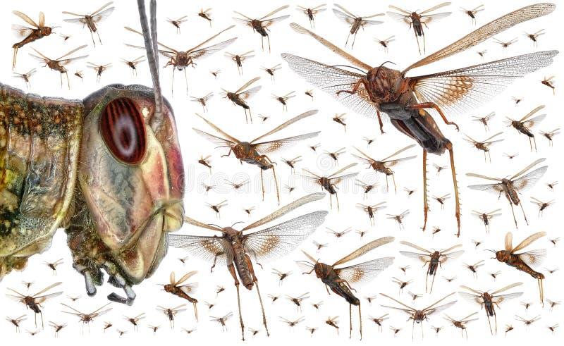 Enxame dos locustídeo migratórios imagens de stock royalty free