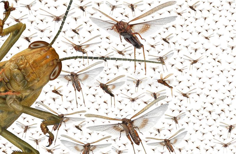 Enxame dos locustídeo migratórios foto de stock royalty free
