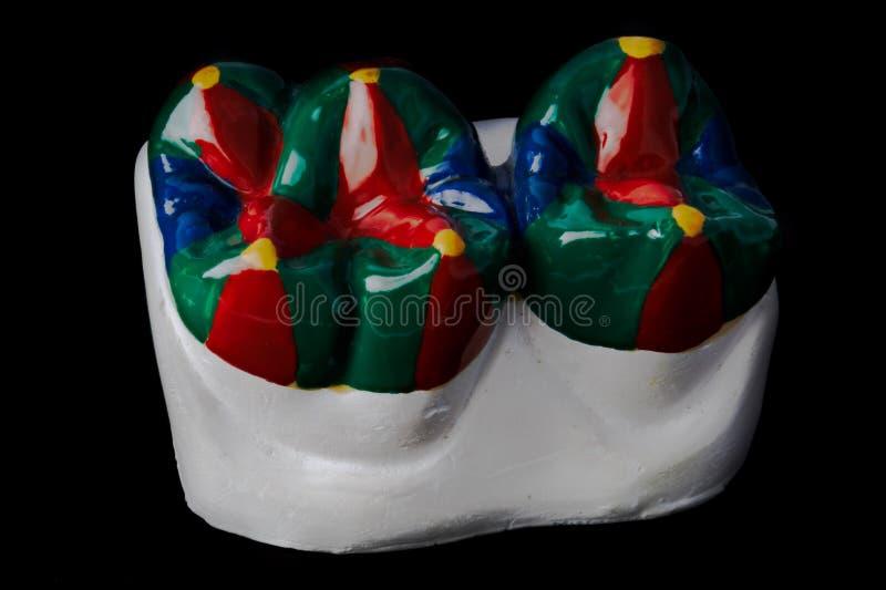 Enyese el modelo de dos dientes molares, pintado imagenes de archivo