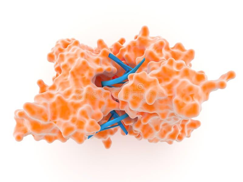 Enzyme de restriction illustration de vecteur