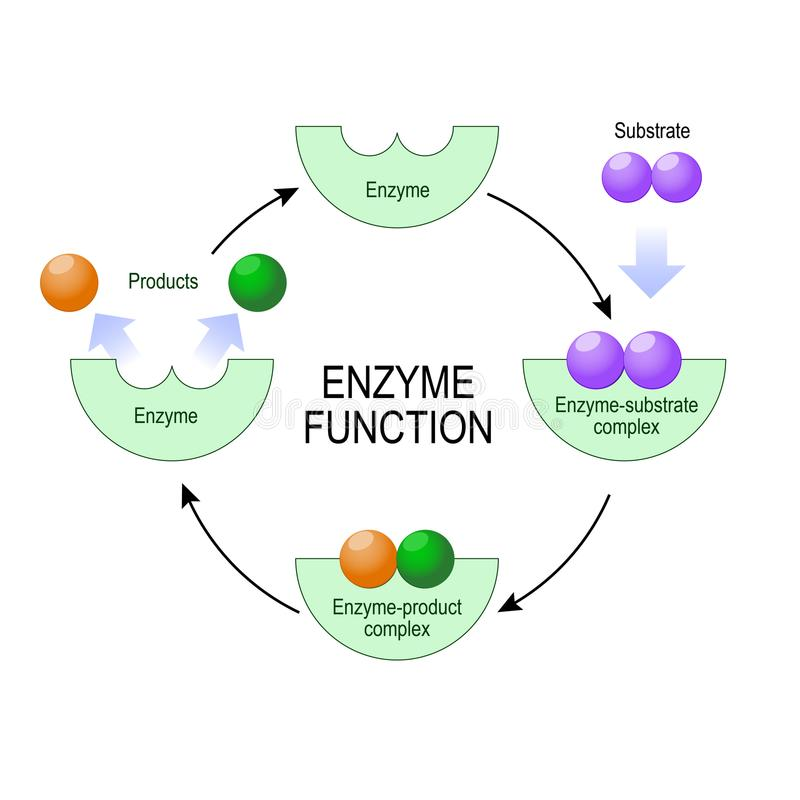 Enzyme function. vector diagram for medical, educational and scientific use. Enzyme function. substrate, product, enzyme-product complex and enzyme-substrate vector illustration