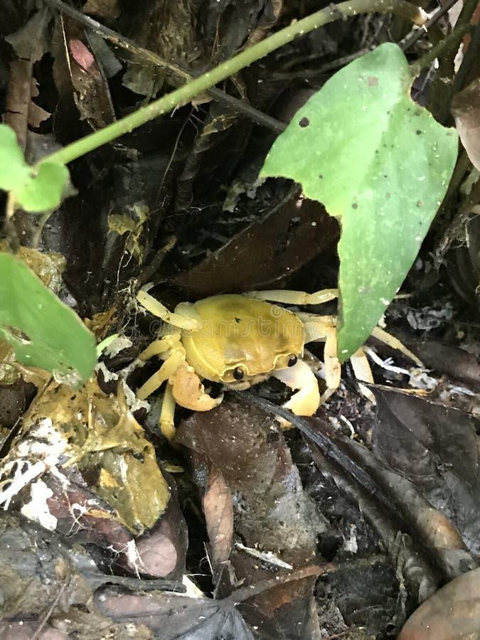 Eosamon smithianum crab. royalty free stock photos