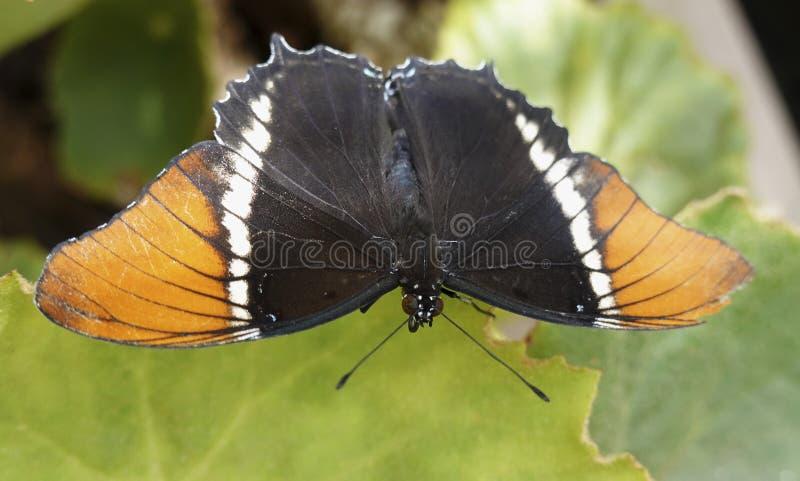 epaphus Rouillé-incliné de Siproeta de page photo stock